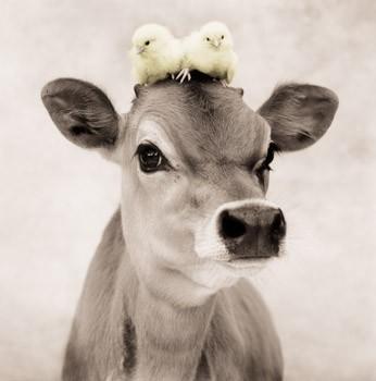 foto divertenti di animali, foto carine di animali, mucca, mucca e pulcini