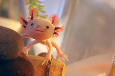 Il mio nome è Axolotl