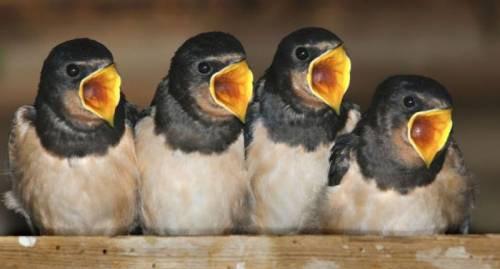 foto divertenti di animali, foto carine di animali, uccellini, pulcini, uccellini affamati